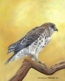 Hawaiian Hawk 'io